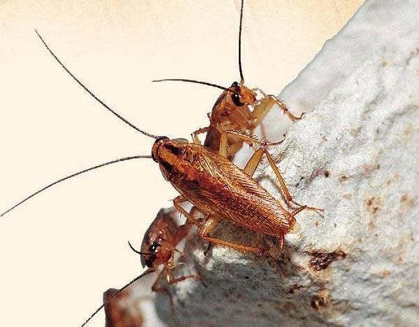 Стойкие и живучие — разнообразие тараканов в наших домах