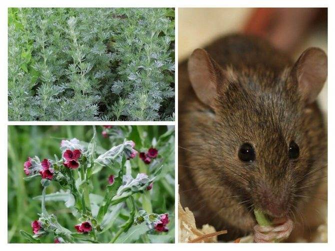 Чего боятся мыши в доме