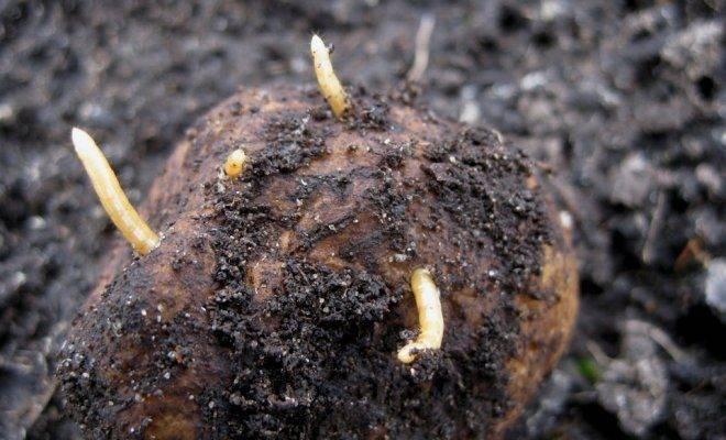 Темный щелкун - опасный вредитель злаковых и овощных культур