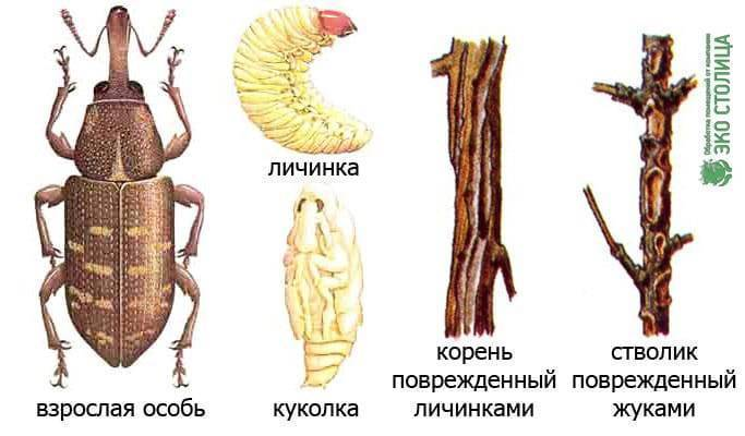 Долгоносик