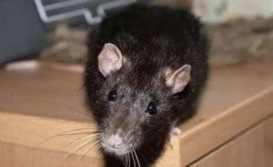 Изгоняем навсегда из курятника мышей и крыс