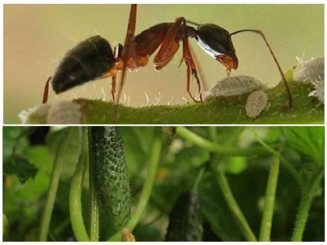 Как избавиться от муравьев в огороде.