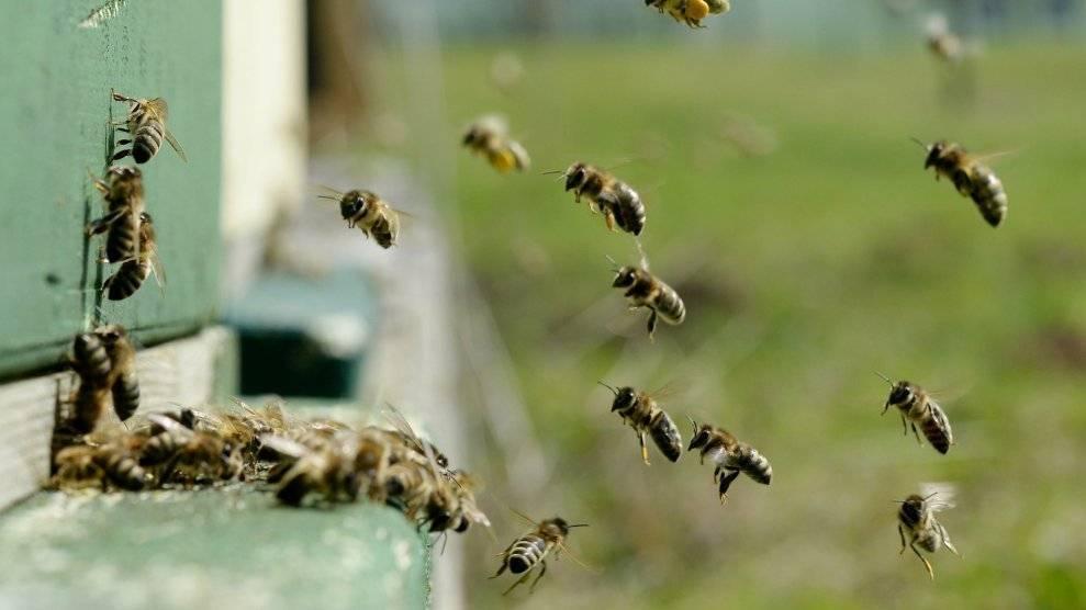Вымирание пчел: причины и последствия