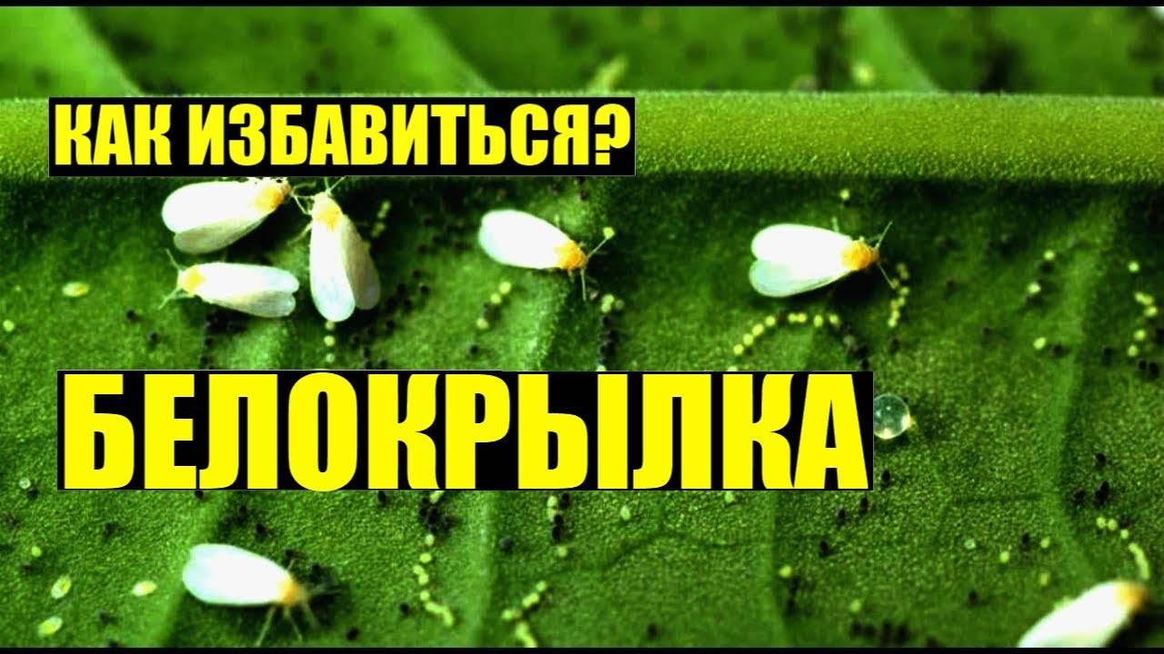 Бабочка белокрылка и способы борьбы с ней