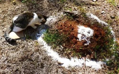 Манка от муравьев на огороде: избавляемся от вредителей народными средствами