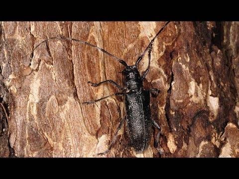 Вред от жука короеда и меры борьбы с ним в саду и в доме