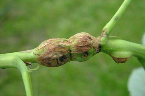 Галица на малине меры борьбы. в борьбе за «малиновый» урожай