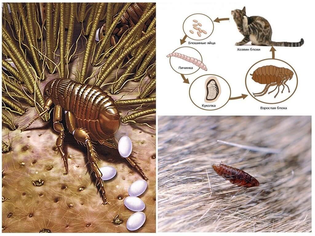 Кошачьи паразиты: знай врага в лицо