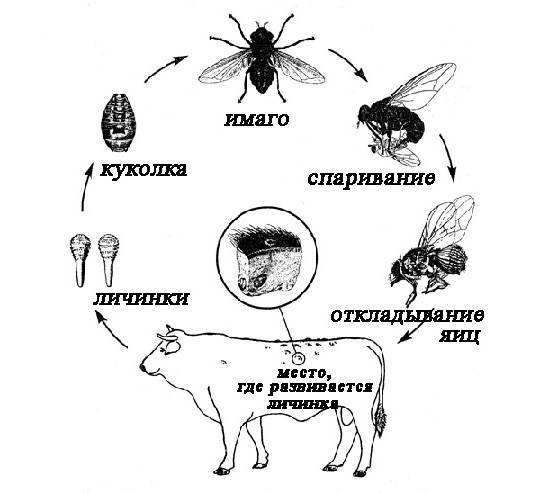 Слепни и оводы. личинка слепня как один из этапов развития насекомого