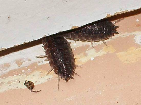 Описание насекомого мокрицы