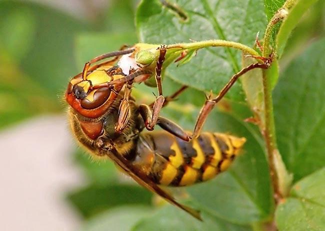Шершень черный обыкновенный: описание насекомого
