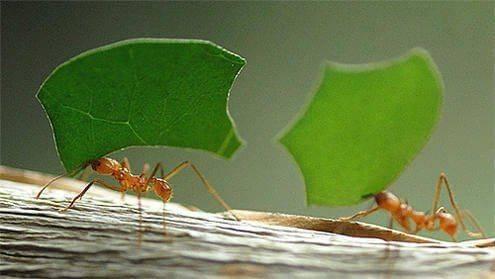 Чем питаются домашние муравьи и как часто они едят?