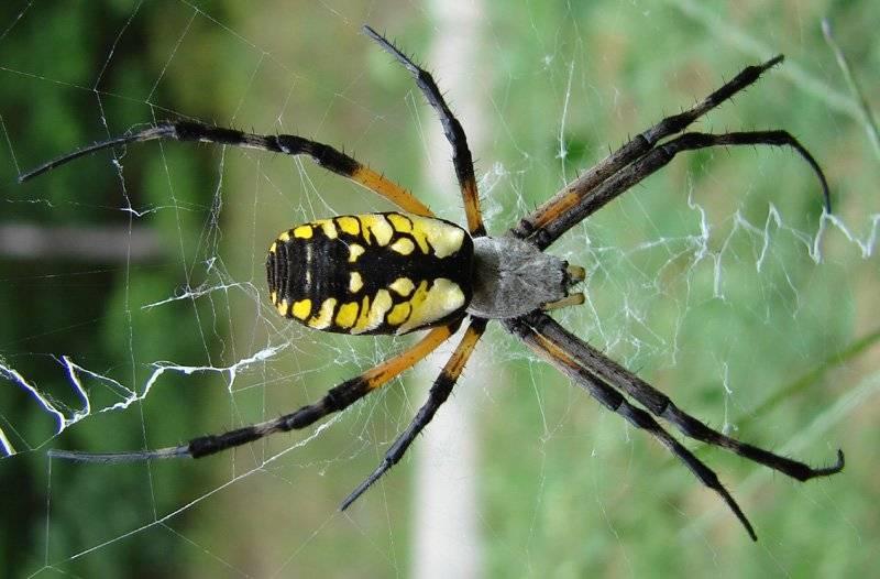 Какую опасность представляет паук-крестовик