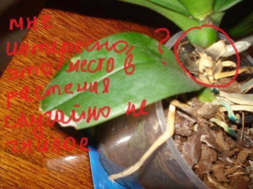 Что делать если в орхидеях завелись мошки