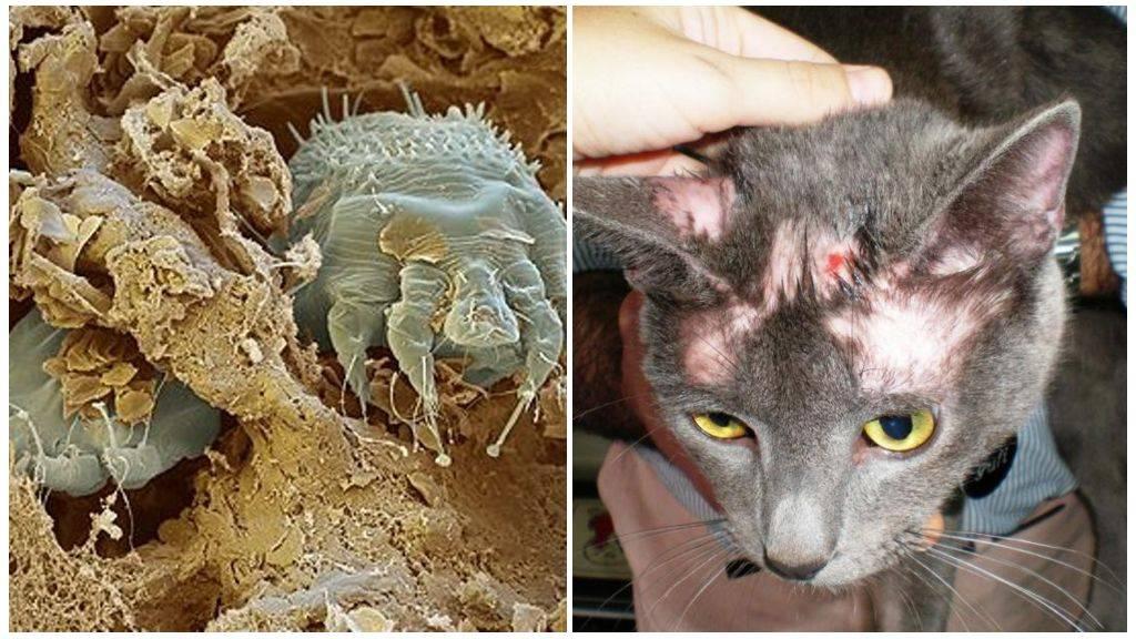 Ушной клещ у кошек: обзор самых популярных капель