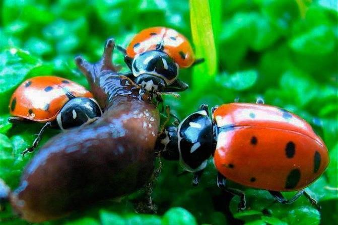 Безобидный жучок или хищник – кто же они, божьи коровки? как зимуют, сколько живут, что едят эти насекомые?