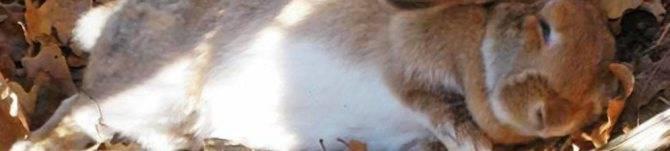 Блохи у кроликов лечение народными средствами