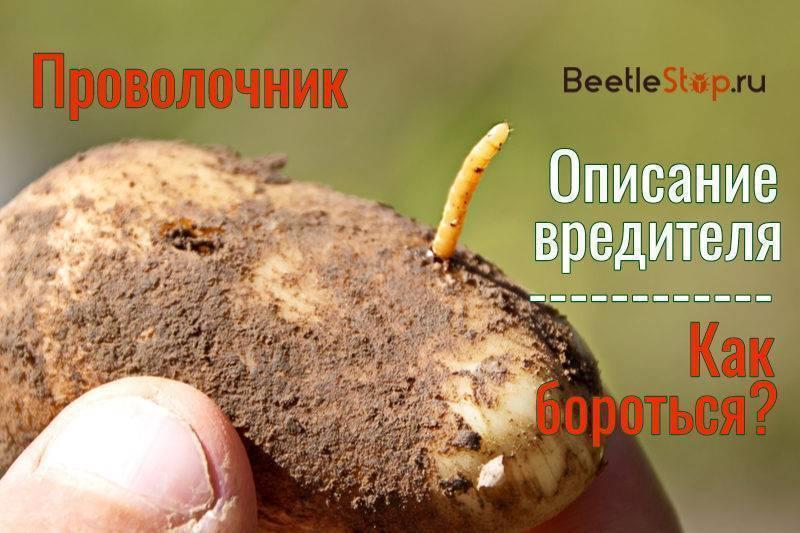 Проволочник в картошке: как избавиться осенью от опасного вредителя