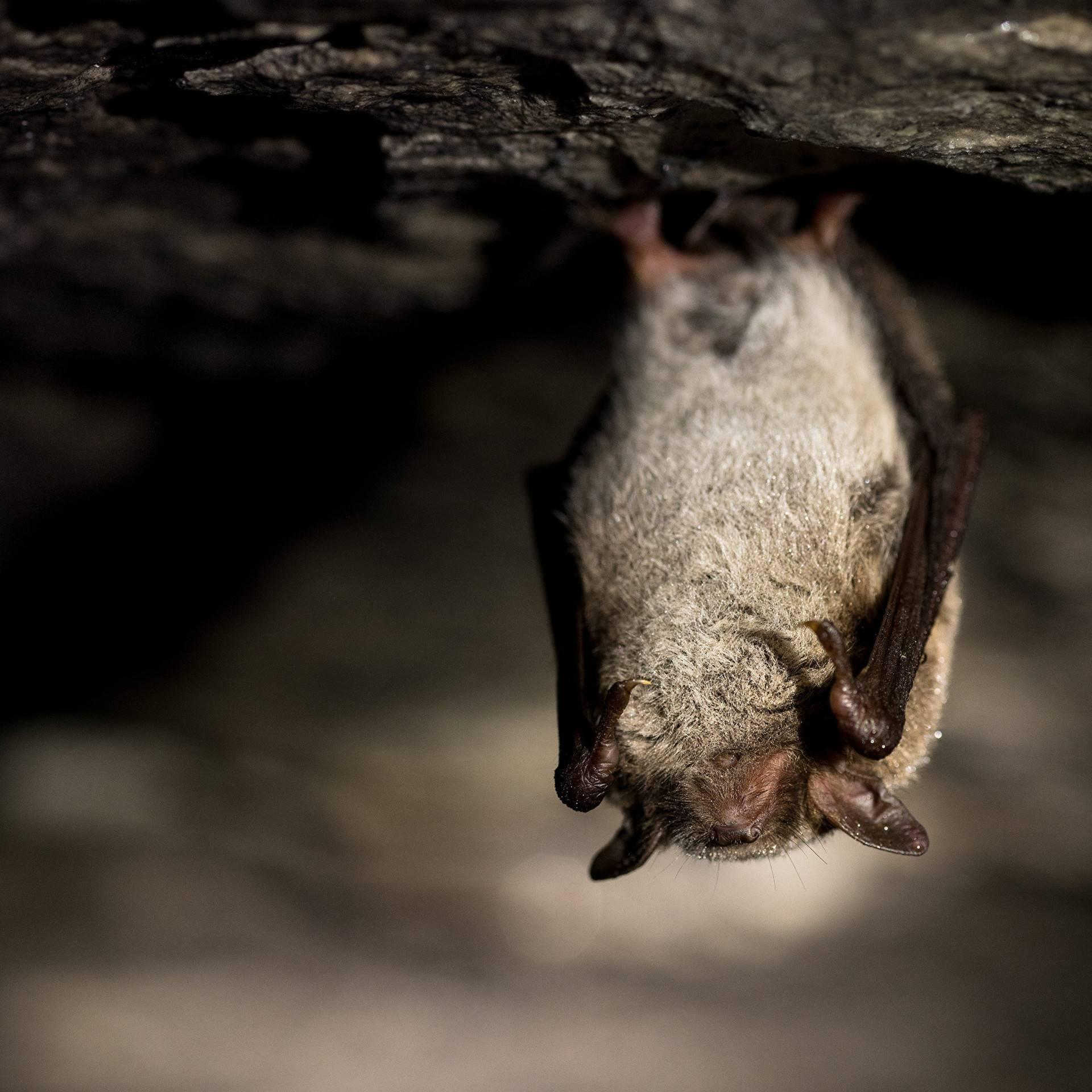 Летучие мыши-вампиры