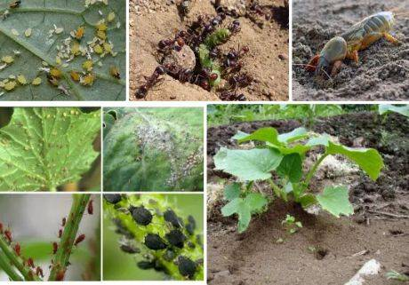 Деготь от муравьев на огороде