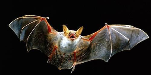 Летучие мыши под крышей: соседство, ведущее к укусам и различным болезням, в том числе бешенству