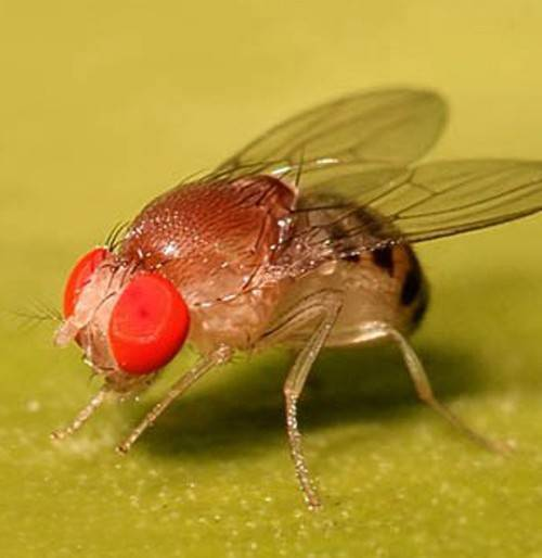 Как избавиться от мух дрозофил в квартире и доме: эффективные методы