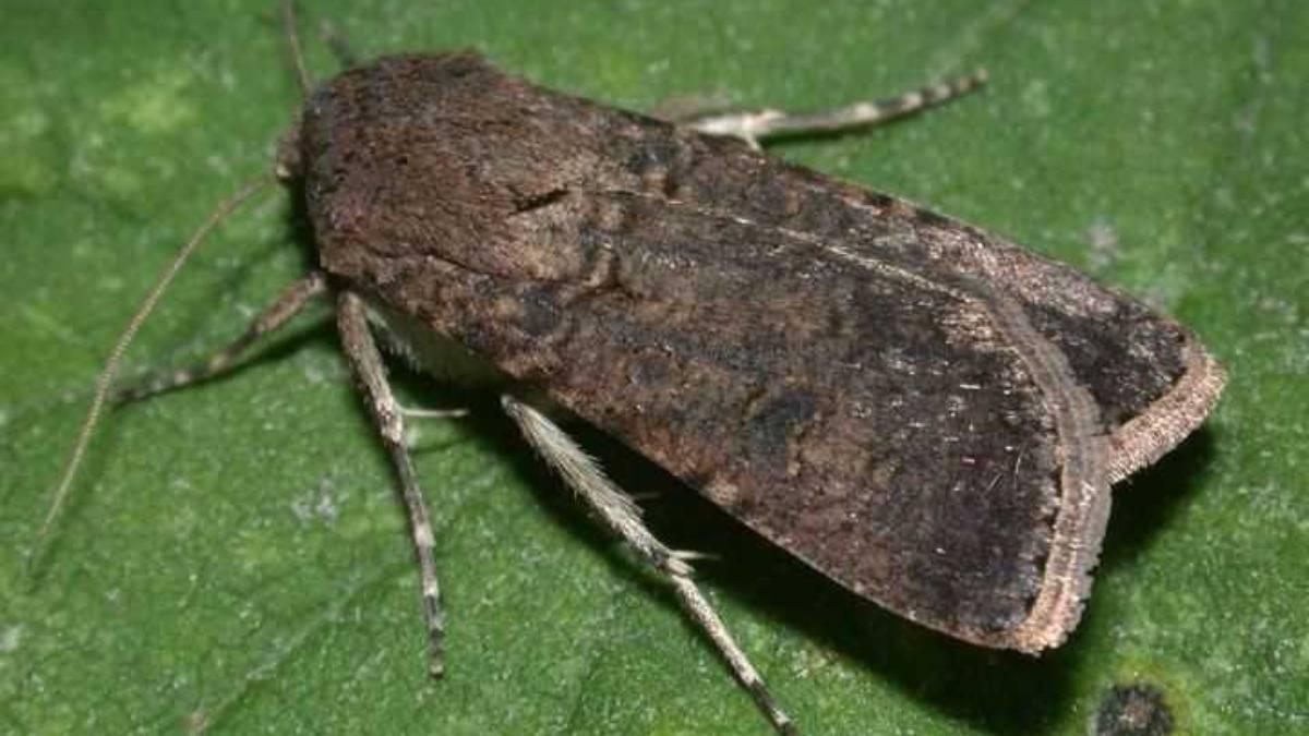 Кукурузный мотылек – вредитель сельхозкультур