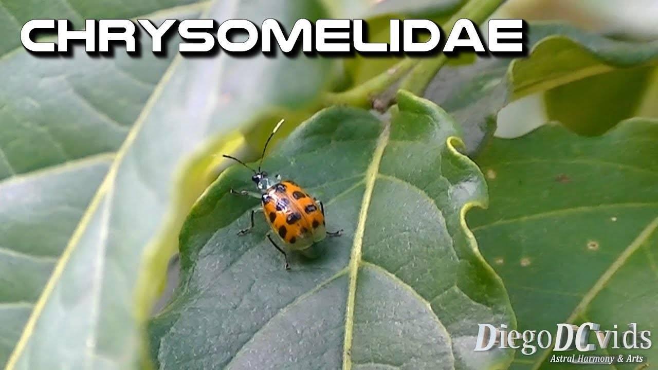 Листоед амброзиевый полосатый — враг инвазивных сорняков