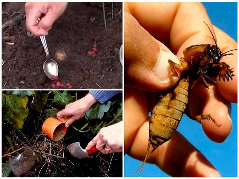 30 методов избавления от медведки в огороде навсегда