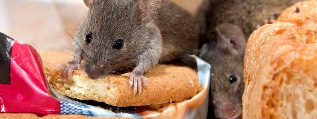 Как избавиться от крыс и мышей в частном доме