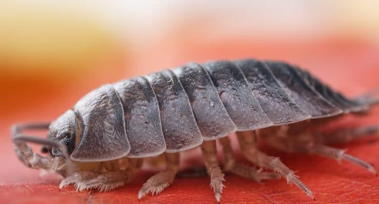 «непрошенные гости» в наших квартирах — мокрицы. виды насекомых, их описание и фото