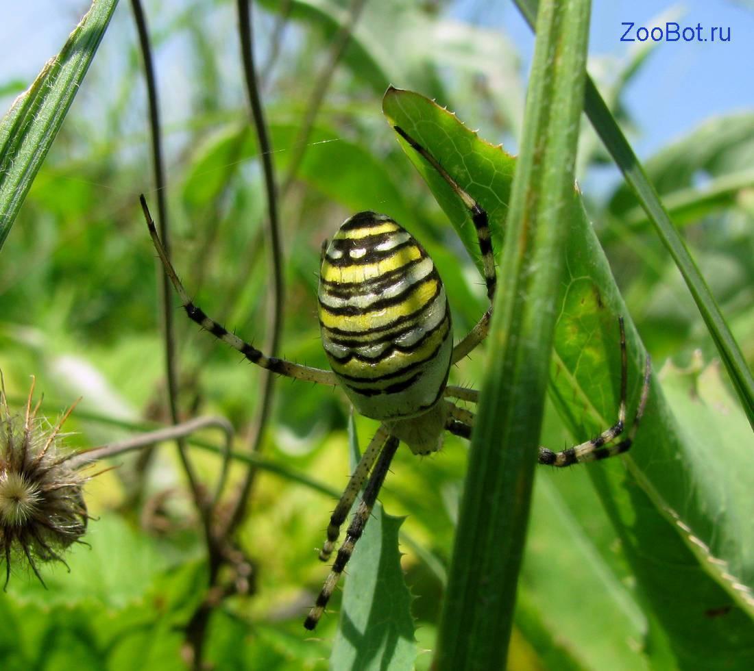 Цветочный желтый паук. симпатичный и коварный. паук с желтыми полосками. опасен ли для человека
