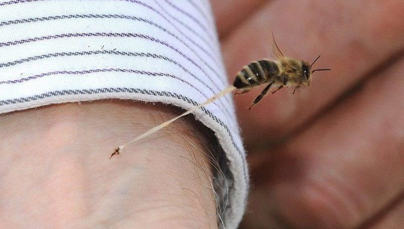Укус пчелы, осы: первая помощь взрослому и ребенку