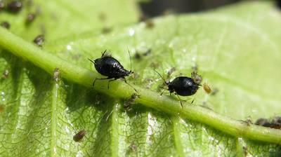 10 способов, как бороться с нашествием муравьев на клубнику