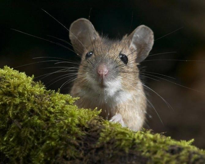Какая приманка сильнее завлекает мышей