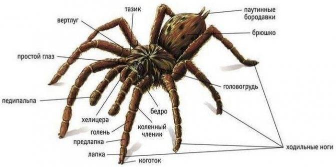 Анатомические особенности и значение пауков в природе