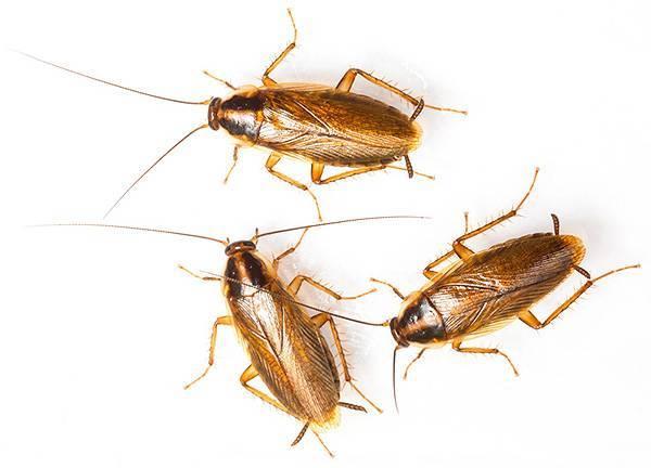 Тараканы мутанты. белый таракан – это мутант или какая-то новая разновидность насекомых? отличия от остальных