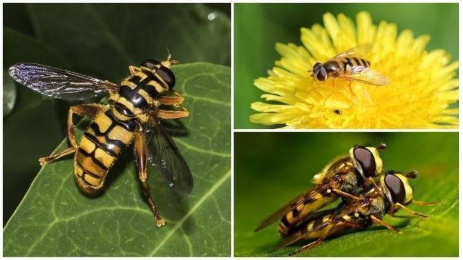 Полосатые мухи похожие на ос. муха журчалка – яркий пример мимикрии. виды мух, названия и фотографии