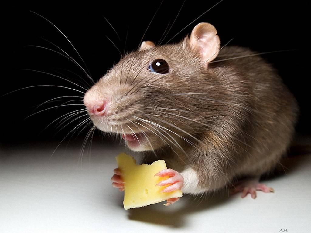 На самом деле мыши не любят сыр. едят ли мыши сыр