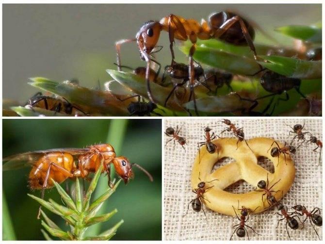 Что едят муравьи в домашних условиях и природе