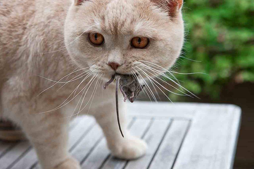 Иксодовые клещи у котов: симптомы и лечение