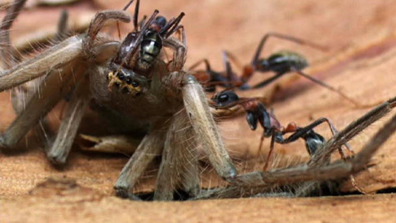 Самые большие муравьи — где они проживают и можно ли их встретить в наших краях?