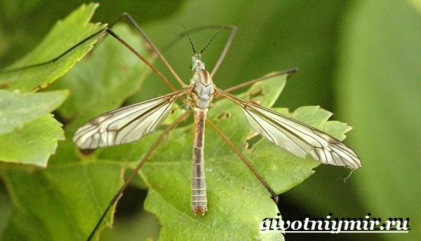 Строение комара: описание, особенности, жизненный цикл, размножение