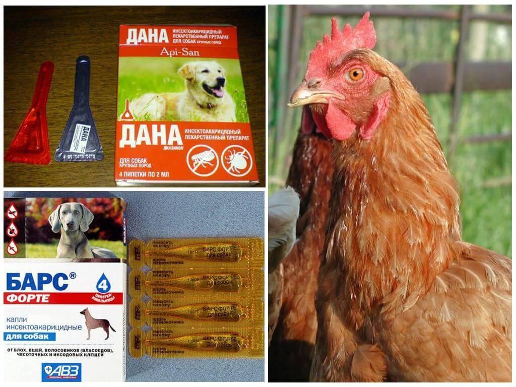 Куриные блохи – как избавиться и защитить кур от паразита