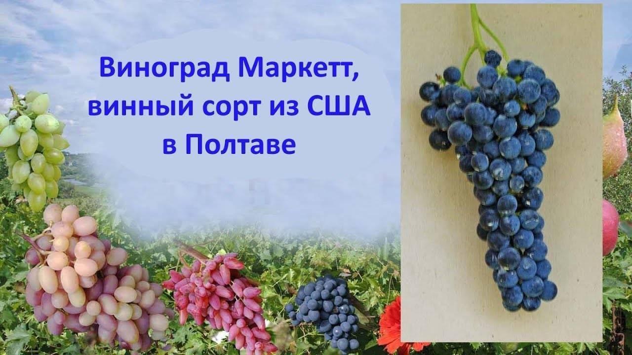 Причины филлоксеры на винограде, меры борьбы препаратами и народными средствами