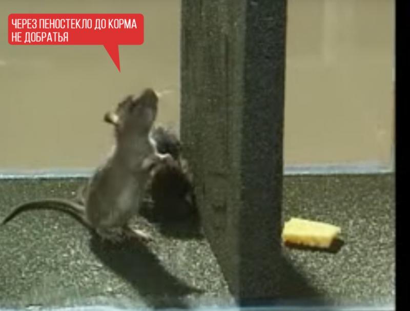 Как защитить пенопласт от мышей и крыс