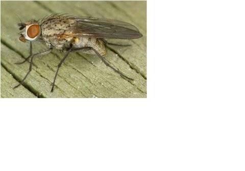 Как избавиться от луковой мухи?