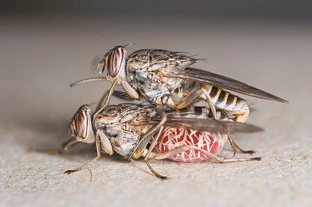 Личинки мухи в теле человека