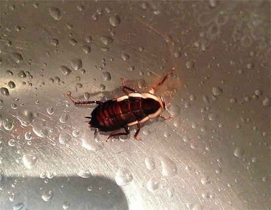 Тараканы концерт. сколько живут домашние тараканы без еды и воды. насекомые могут переносить высокие уровни радиации