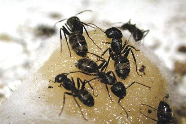 Спасаем растения от муравьев – когда эффективнее всего провести обработку